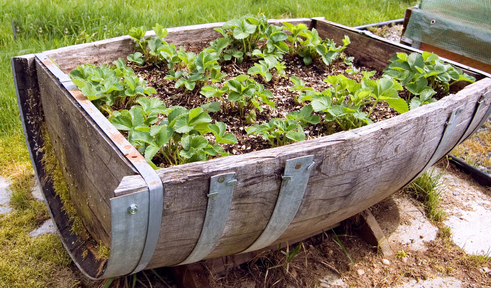 Container strawberry patch