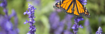 How to Plant a Garden Butterflies Will Love
