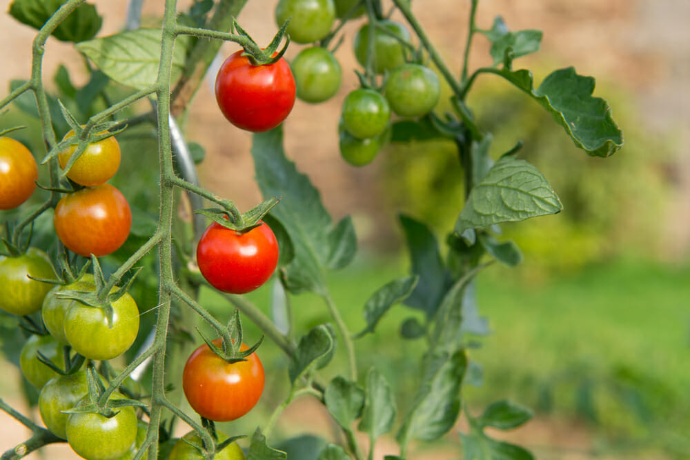Vegetable Garden Tomatoes