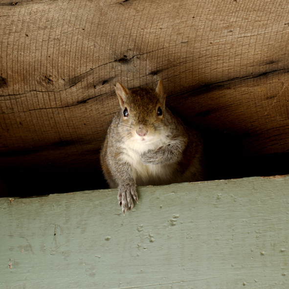 Square cropped portrait of Eastern gray squirrel emerging from nest in the eaves of an old porch with left paw folded over chest facing camera. The background is raw and green painted wood.
